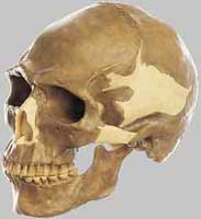 Reconstructed Cro-Magnon skull